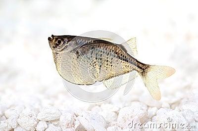 Aquarium Fish Common Silver Hatchetfish Gasteropelecus Sternicla Stock ...
