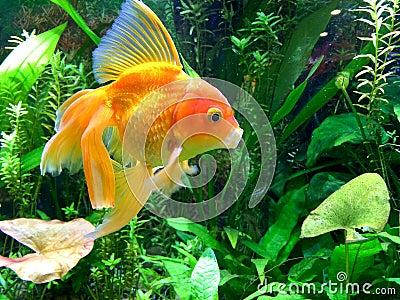 Aquarium g hnende goldfische stockfoto bild 66633340 for Aquarium goldfische