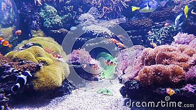 Aquarium met clownvissen en andere kleurrijke vissen met koralen op achtergrond stock video