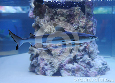 Aquarium with a small shark and remora fish stock photo for Small sharks for fish tanks
