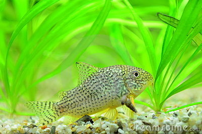 Aquarium spotted catfish royalty free stock photos image for Pesce gatto acquario