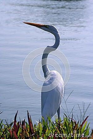Aquatic bird