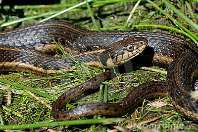 An aquatic garter snake in reeds.