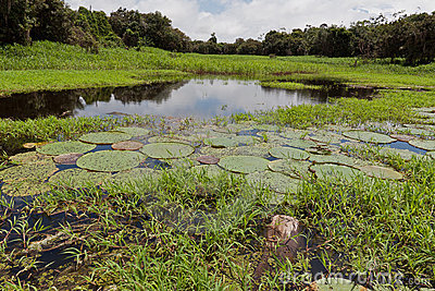Aquatic Plants Manaus