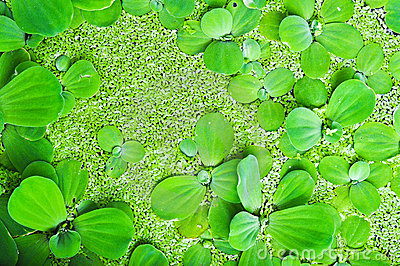 Aquatic Weeds On The Water
