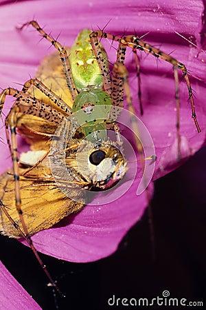 Araña verde del lince con la presa de la mariposa del capitán