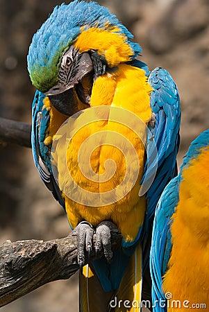 Ara Ararauna parrot