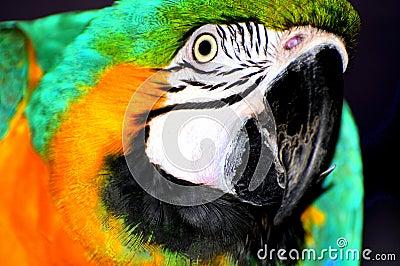 Ara parrot portrait
