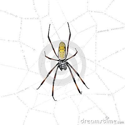 Araña de oro del Orbe-Web en Web de araña