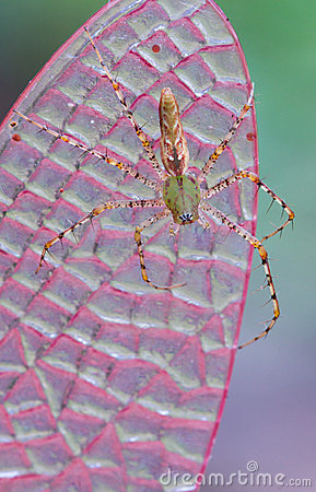 Araña del lince