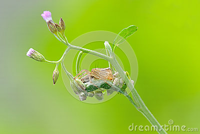 Araña del lince con la flor