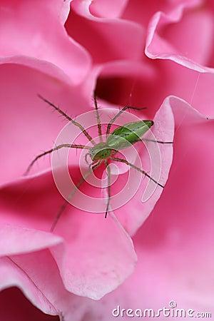 Araña verde del lince
