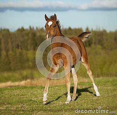 Free Arab Foal Running Free In Summer Field Stock Photo - 42368270