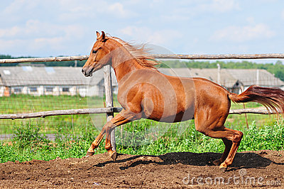 Arab horse galloping in a paddock