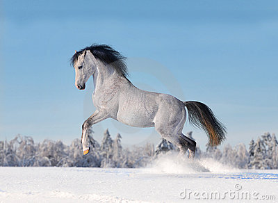 Arab horse galloping in winter