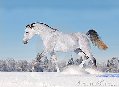 Arab horse galloping in winter