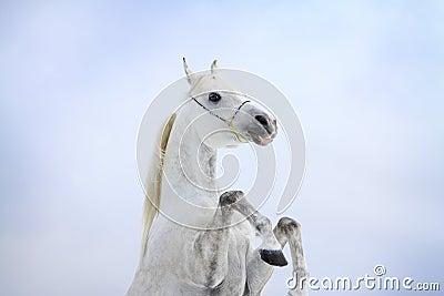 Arab horse rears