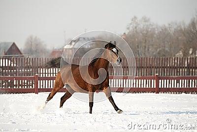 Arab horse runs