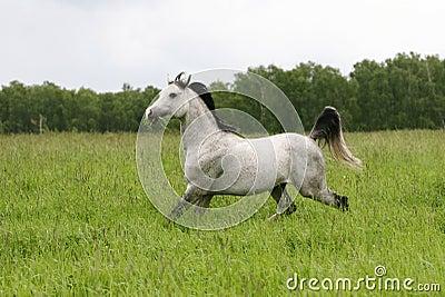 Arab stallion