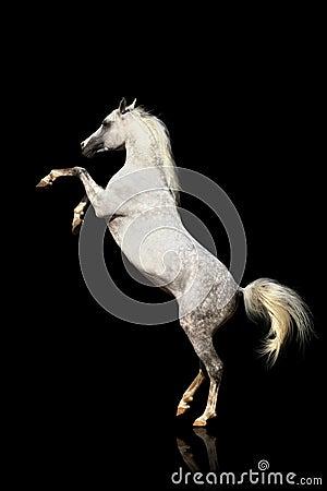 Arab stallion isolated