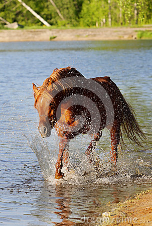 Arab stallion in water