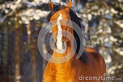 Arab stallion in winter