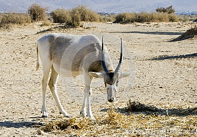 Arabian antelope in Hai-bar nature reserve, Israel