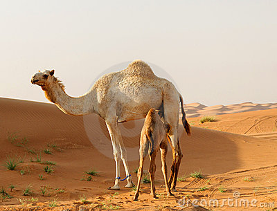 Arabian camel and calf