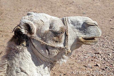 Arabian camel head