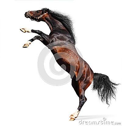 Arabian chestnut stallion
