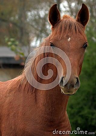Free Arabian Colt Stock Photos - 4337553