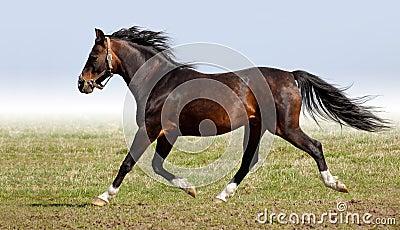 Arabian dapple-chestnut stallion