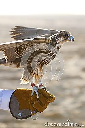 Arabian Falcon On Falconer s Glove