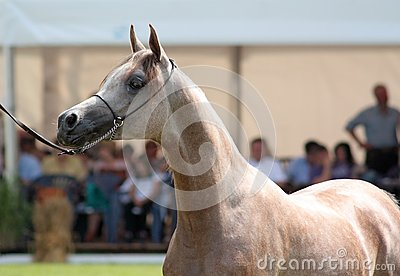 Arabian filly