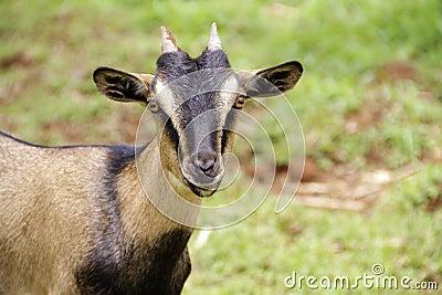 Arabian goat