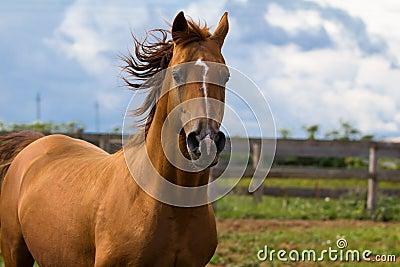 Arabian gold horse