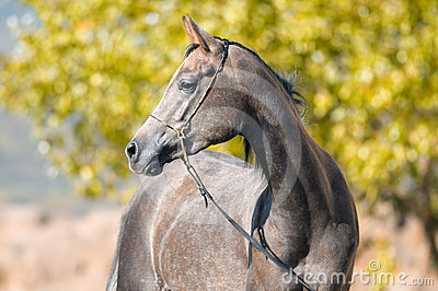 Arabian grey horse portrait in summer