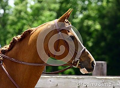 Arabian Head with Bridle