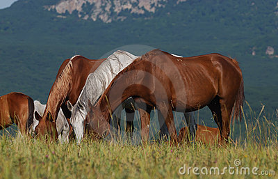 Arabian herd on pasture