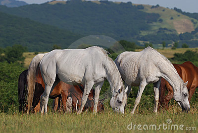 Arabian herd on pasture