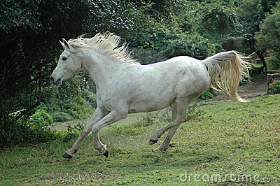 Arabian horse galloping