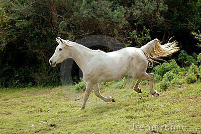 Arabian horse galloping down