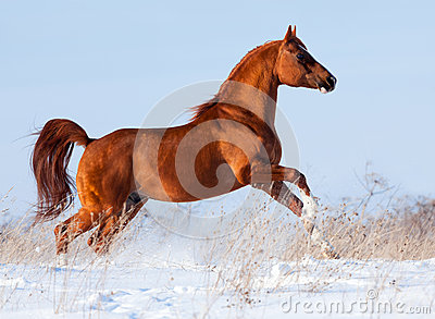Arabian horse gallops in the winter.