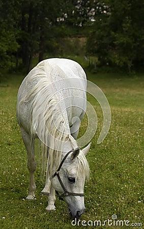 Arabian horse grazing