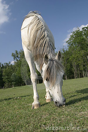 Arabian horse grazing in a field