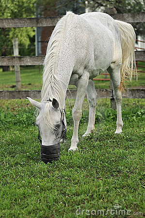 Arabian Horse with Grazing Muzzle