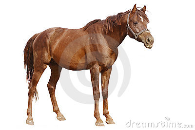 Arabian horse isolated on white stnading