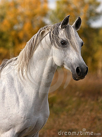 Free Arabian Horse Portrait Stock Photos - 12661463