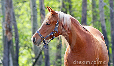 Arabian horse profile