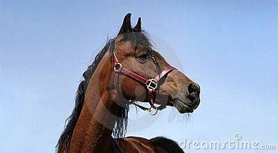 Arabian horse profile 5 year old stallion